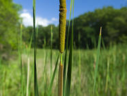 Foraging Cattails